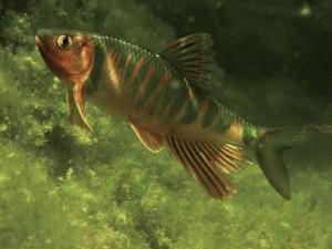 Drachenfisch-Maennchen