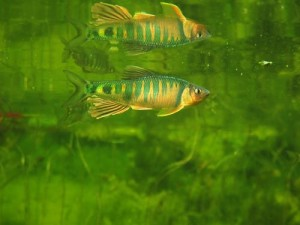 Drachenfisch-unter-Oberflaeche