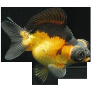 Teleskopauge Goldfisch
