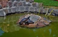 Ein Gartenteich für Wasserschildkröten