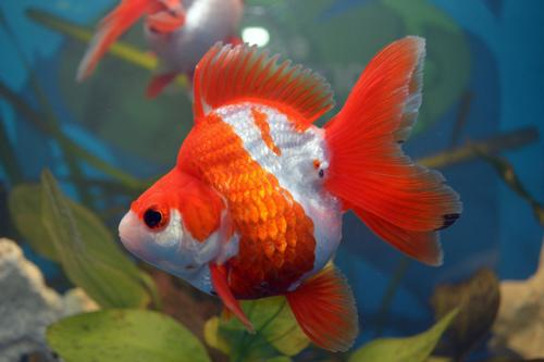 Gartenteich f r goldfische exklusive gartenteiche for Goldfische gartenteich winter